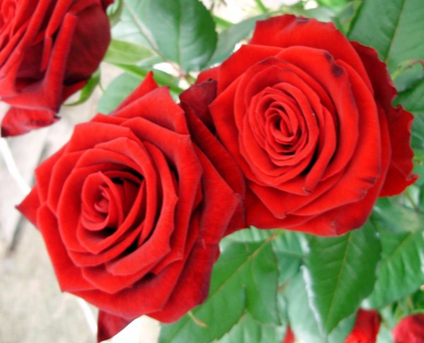 bunch-of-red-roses