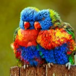 colorful parrots hd picture