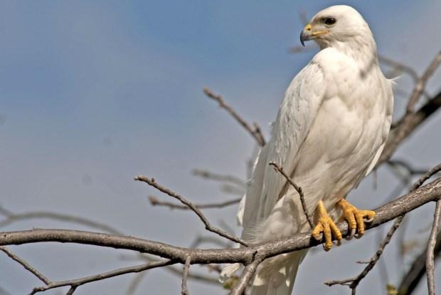 white eagle