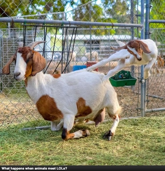 funny goat photos