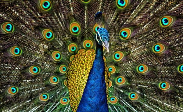 The Peacock
