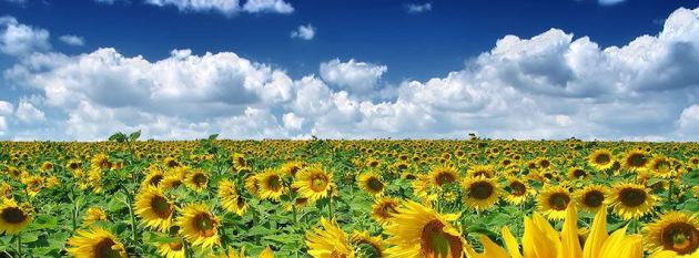 sunflower fields summer facebook cover photo for timeline