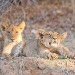#ElCicloSinFin, Disney en apoyo a los leones