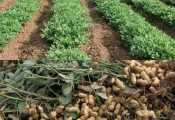 Groundnut farming in Nigeria