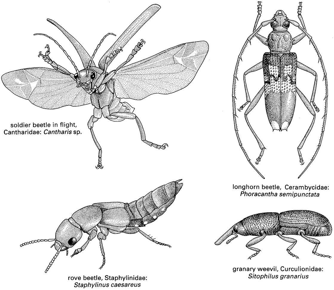 Coleoptera Beetles Boxes