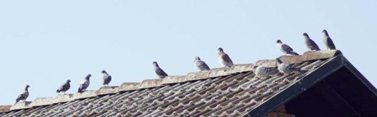 allontanamento piccioni entoservice