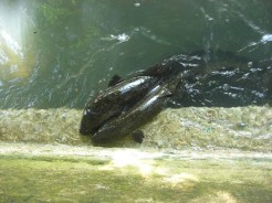 Huahine - anguilles sacrées