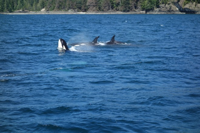 Mackay Whale Watching - Port McNeill