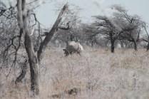 notre seule photo de rhinocéros...