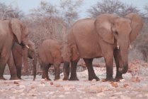 Elephants Etosha Park