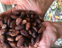 Conociendo la Producción del Cacao