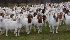 Goat Farming Business