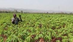 how-to-start-a-cassava-farm-in-nigeria