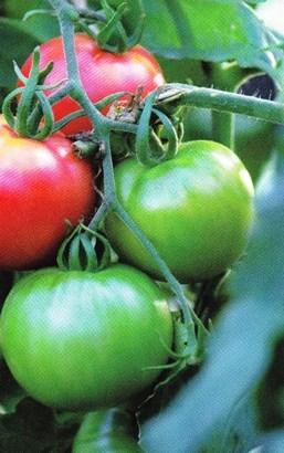 El tomate: Imprescindible en cada comida