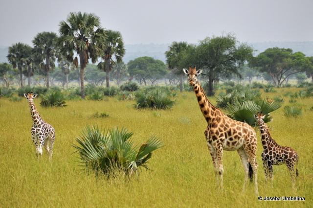 Jirafas en el Murchison Falls National Park