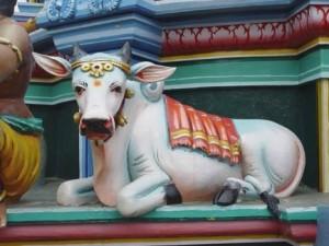 La vaca es sagrada en la religión hindú.