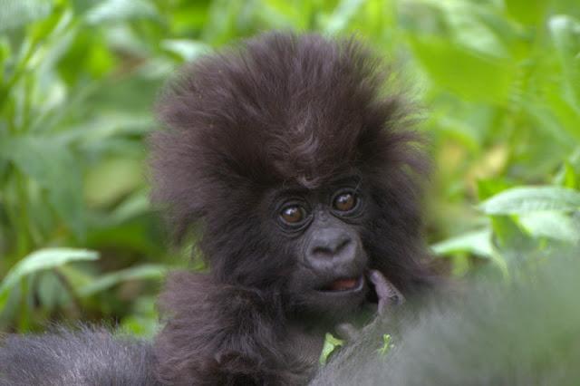gorilas de montaña bebe 4