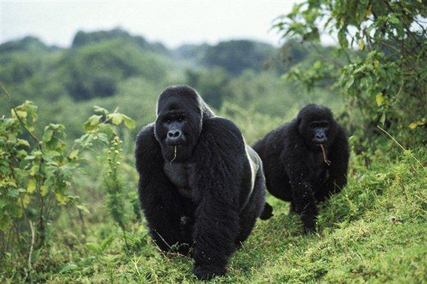 gorilas_620x413