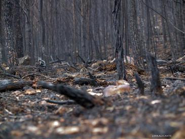 Los expertos desaconsejan repoblar con plantas exóticas los terrenos quemados. / Fernando Prieto