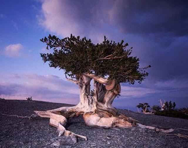 Pinus longaeva los seres vivos no clonados mas viejos de la tierra 12