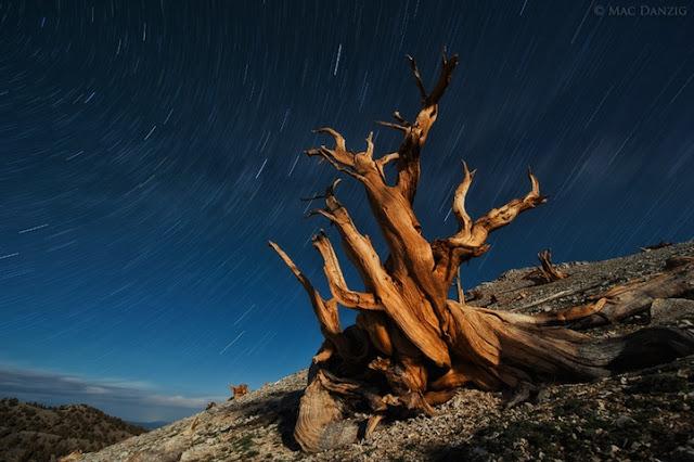 Pinus longaeva los seres vivos no clonados mas viejos de la tierra 5