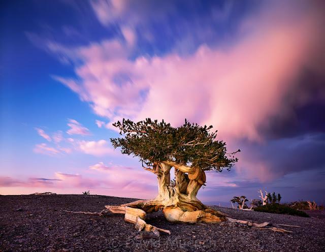 Pinus longaeva los seres vivos no clonados mas viejos de la tierra 9