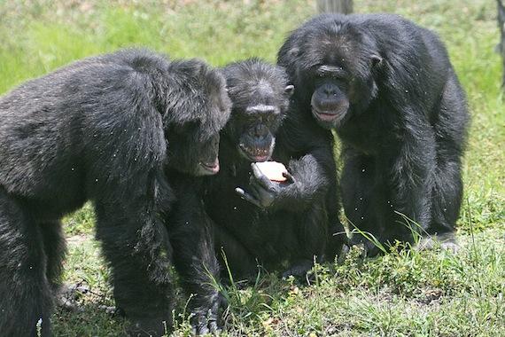 Three_chimpanzees