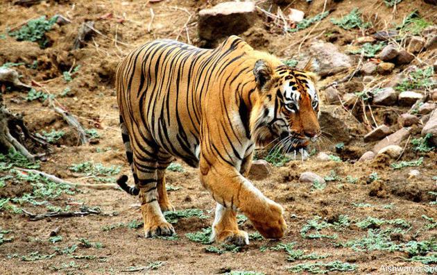 Reserva de Tigres Tadoba-Andhari  ramdegi 2