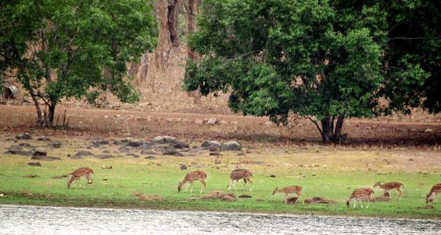 Reserva de Tigres Tadoba-Andhari  ramdegi