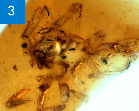 Nueva-especie-extinta-de-arana-encontrada-en-un-ambar-en-Teruel_image_380