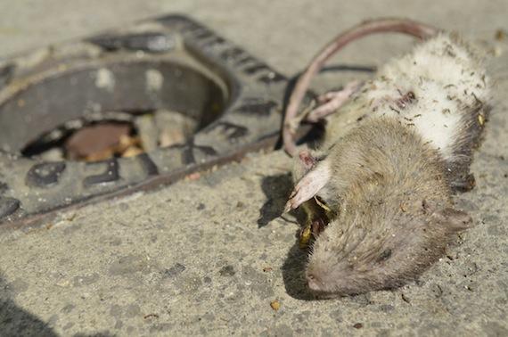 ratas_plagas_ciudad_-3