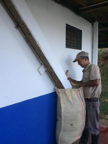 Dried green coffee beans ready to sell
