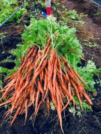 Good and True Farm carrots