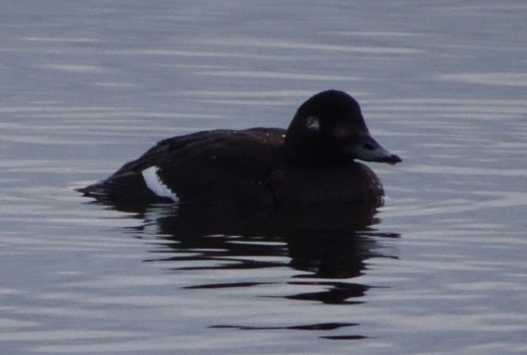 A female Velvet Scoter on the water.