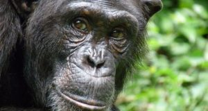 Cross River community moves to save endangered primates  Primate