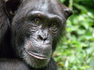 Primate  Cross River community moves to save endangered primates  Primate 300x225