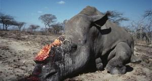 Poached rhino  Rhino poaching crisis in Africa worsening, discloses IUCN rhino 2204748b
