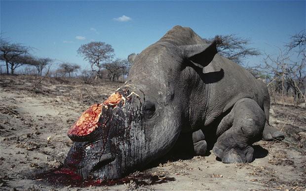 Poached rhino  South Africa announces minor decrease in rhino poaching for 2017 rhino 2204748b