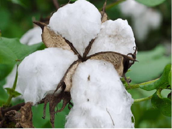 GM-Cotton