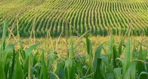 corn field  Syngenta sued for $1bn over China's rejection of GM corn  corn field 400x320