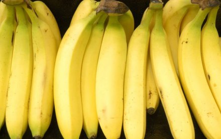 GM bananas  GMOs: Biosafety agency commences analysis of products GM bananas