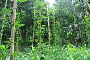 Rubber agroforestry – coco yam, maize, a young bush mango (Irvingia gabonesis) – and other plants in the dappled light in a gap between mature rubber trees. Photo credit: Cathy Watson