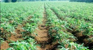 cassava_plantation-in-Rivers-State-Copy