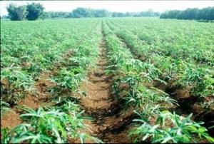 A cassava plantation in Rivers State, Nigeria. Photo credit: gopixpic.com
