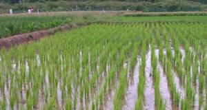 Rice-Plantation  G8 rice plantation project meets Nigeria resistance Rice Plantation