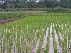 A rice plantation. Photo credit: www.osundefender.org  G8 rice plantation project meets Nigeria resistance Rice Plantation 300x225