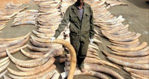 Ivory trafficking  Ivory sales ban commences as China aims to curb elephant poaching Ivory trafficking