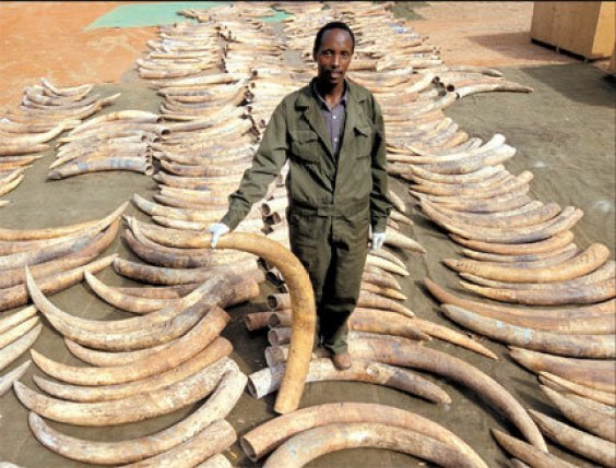 Ivory trafficking  Customs seizes 347g ivory products in east China port city Ivory trafficking