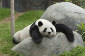 Panda. Photo credit: brafton.com