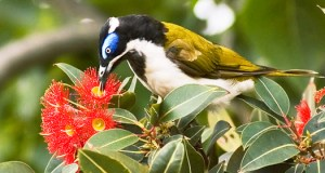 The Honeyeater